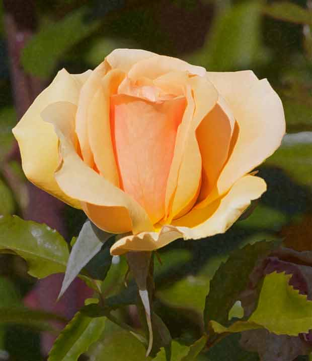 Yellow-Orange Rose