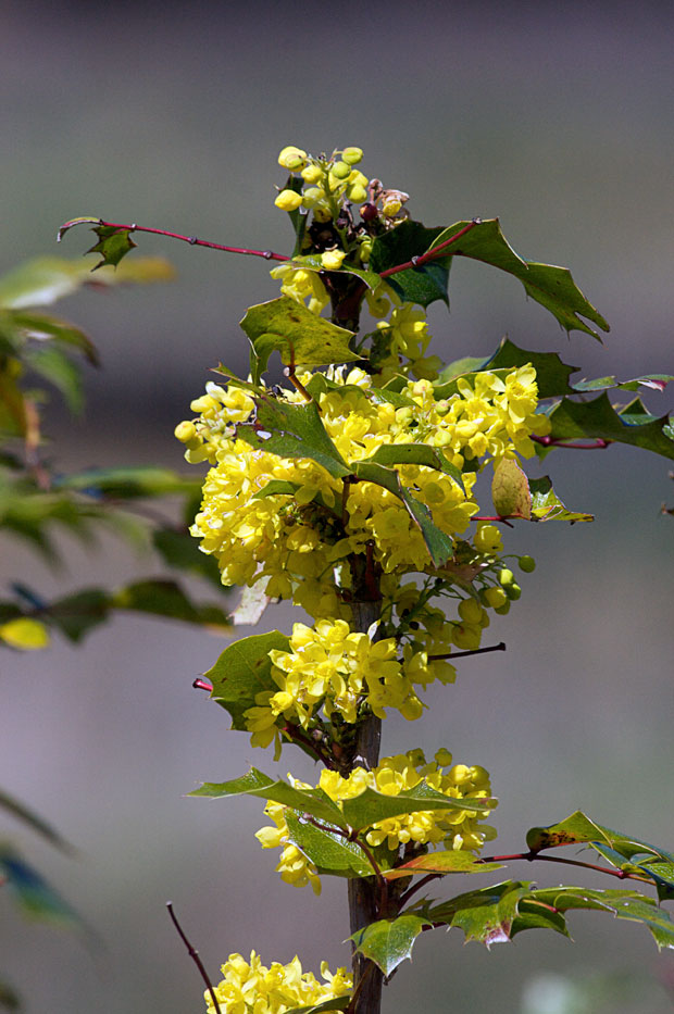Oregon Grape Blossoms