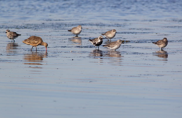 Plovers and Godwit