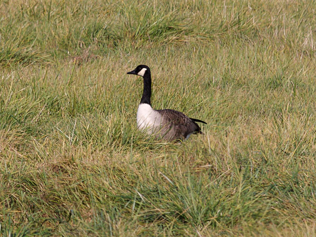 Canada Goose on Watch