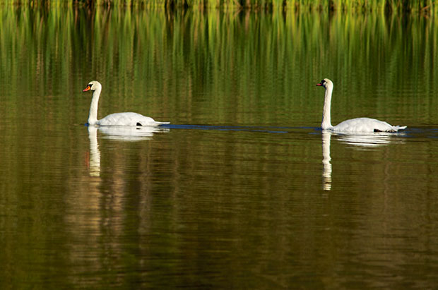 Mute Swans