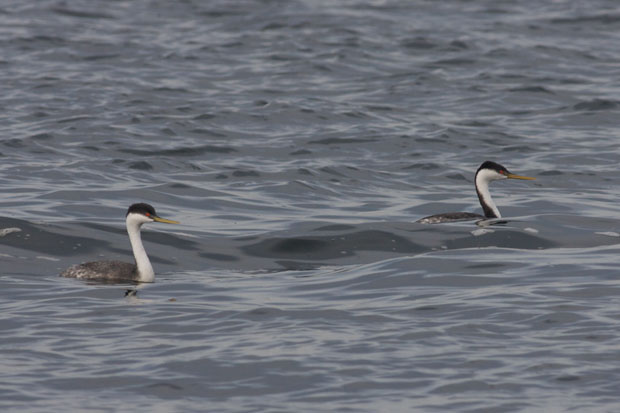 Pair Of Western Grebes