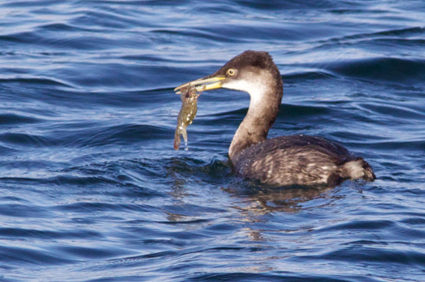 Red-Necked Grebe with Shrimp