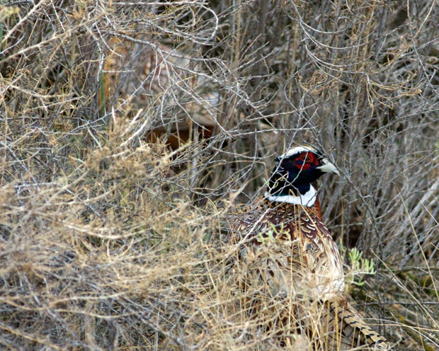 Pheasant in Bushes