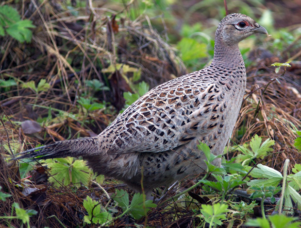 female Ring-Necked Pheasant