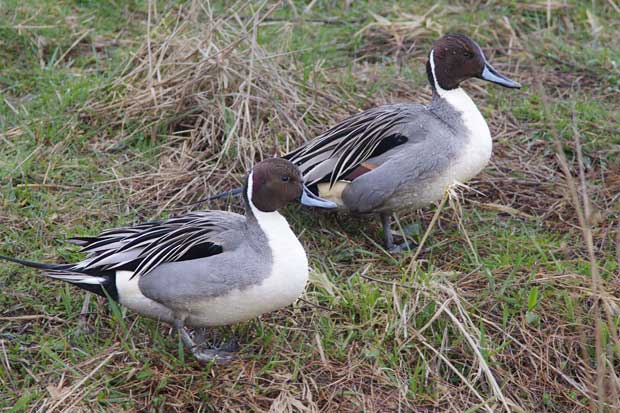 two male Northern Pintails