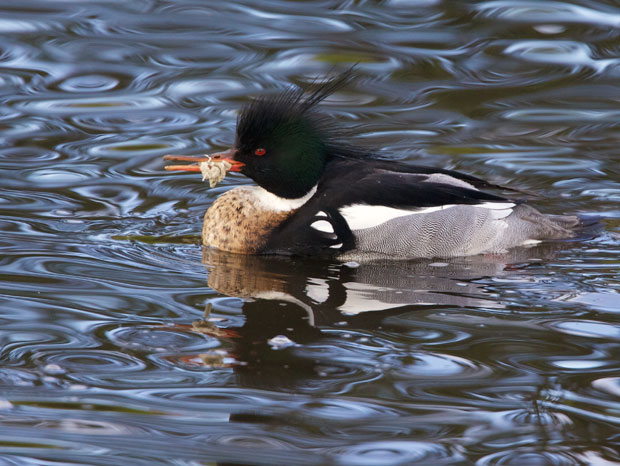 Merganser with Plastic Stuck on Beak