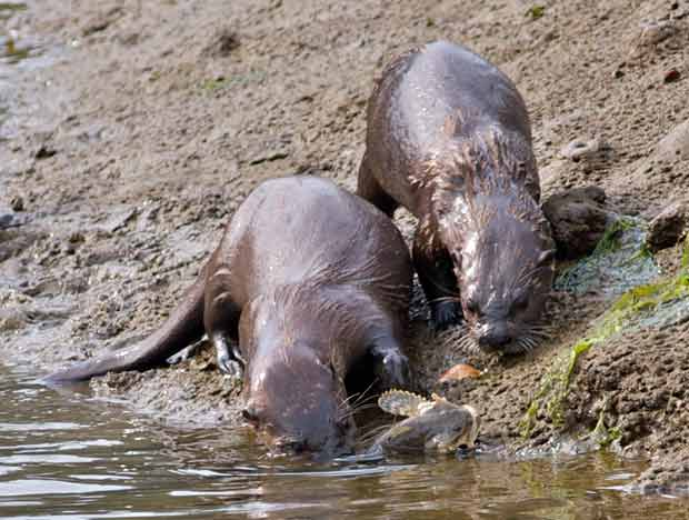 Otters Playing With Dinner
