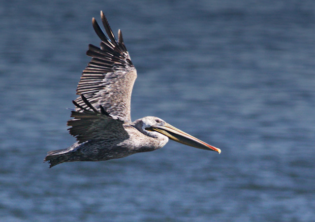 Brown Pelican Flyby