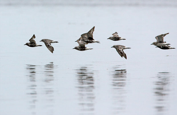 Black-Bellied Plovers in Flight