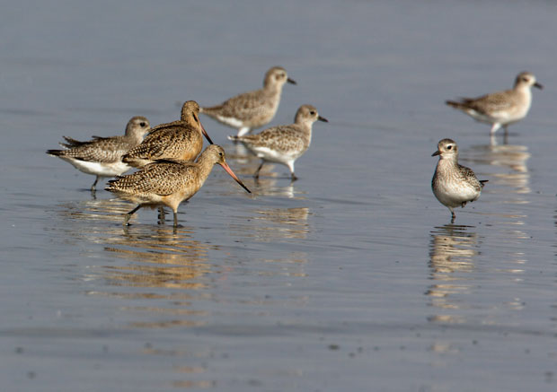 Plovers and Marbled Godwits