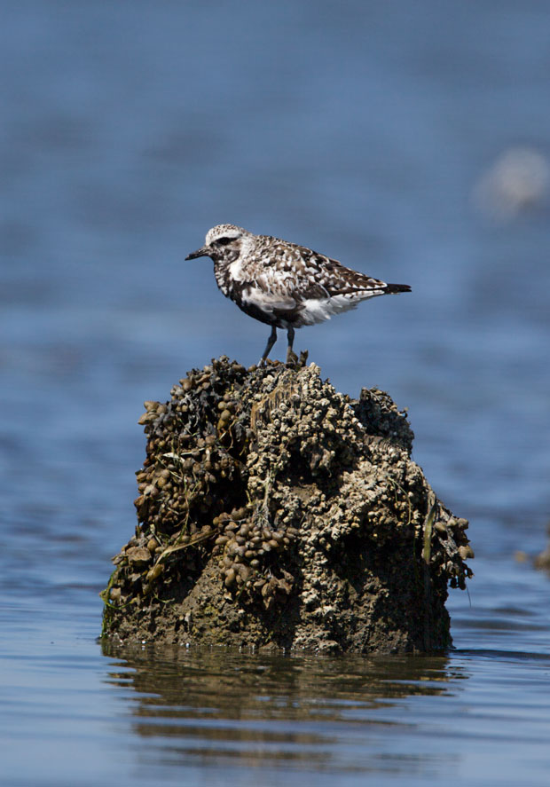 Black-Bellied Plover on Rock