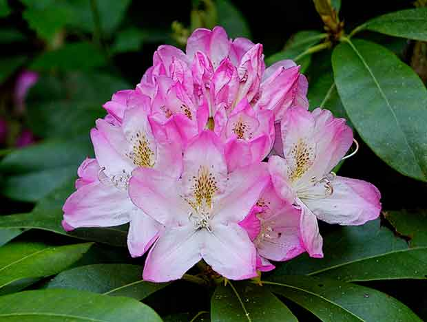 Pink and White Rhododendron