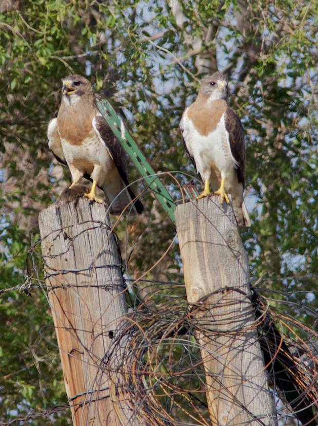 pair of Swainson Hawks