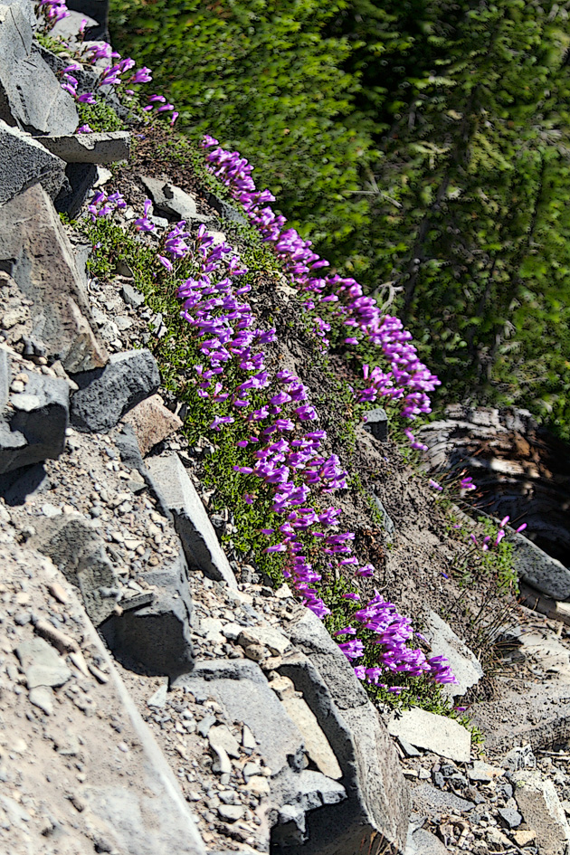Purple flowers on Cliff