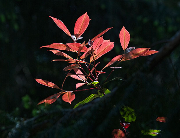 red leaves in sunshine