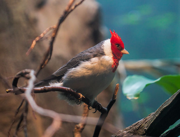 unknown bird with red head