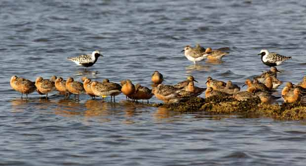 Red Knots On Sand Bar