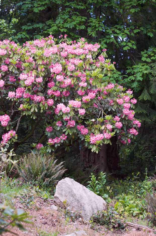 Pink Rhodendron on Bank