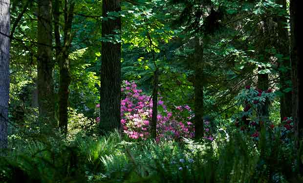 Rhododendron in Forest