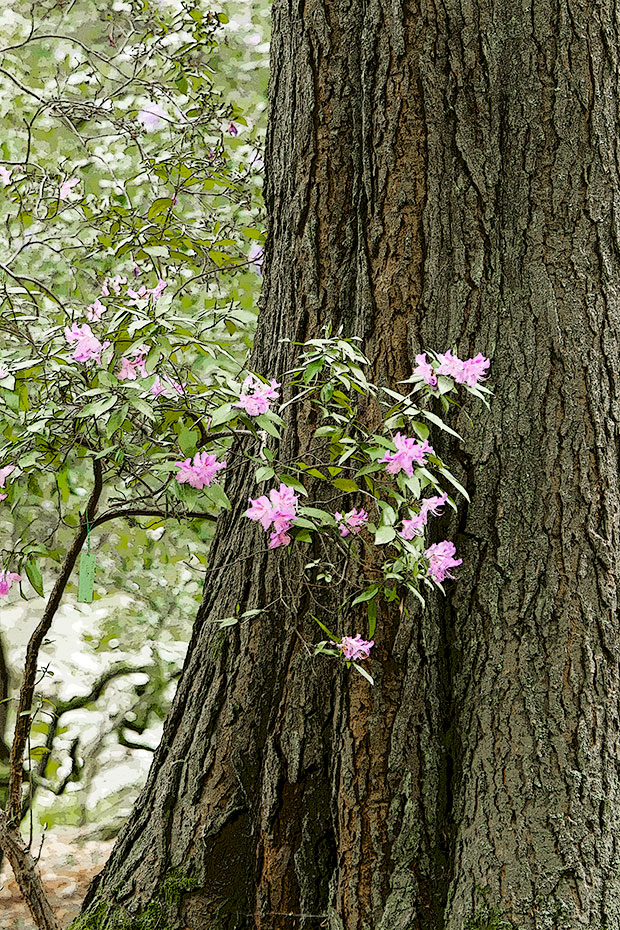 Rhododendron against fir