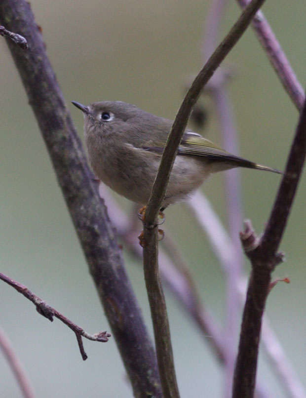 Ruby-Crowned Kinglet, I Thinkl