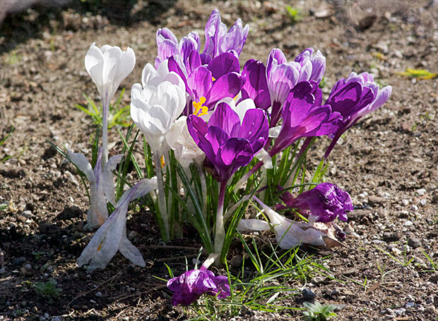 Saturday's Croci