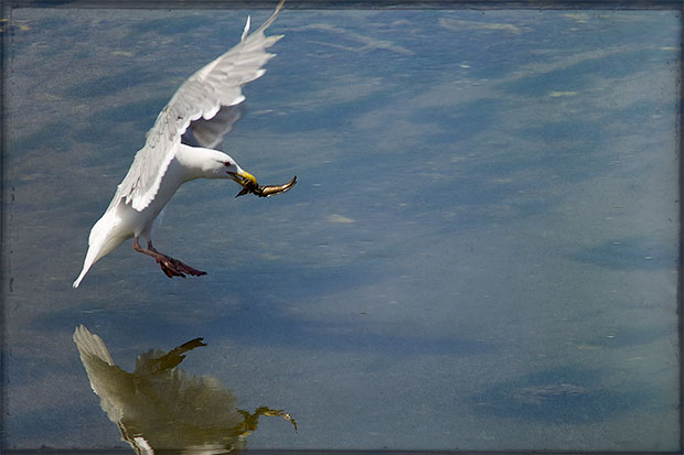 gull with sculpin