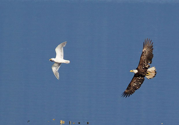 Bald Eagle chasing Gull