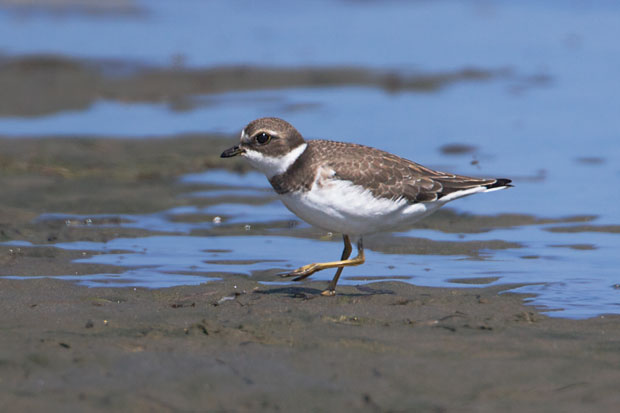 Semi-Palmatted Plover