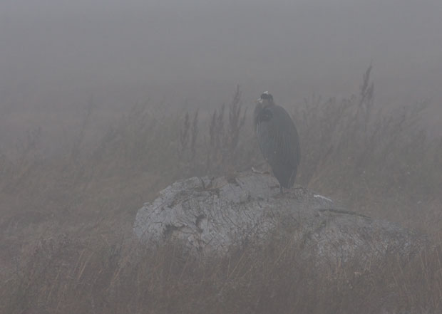 Great Blue Heron Standing in Fog