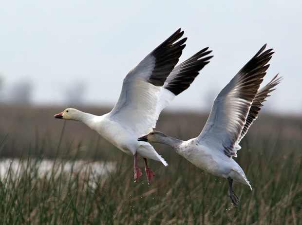 pair of Snow Geese taking off