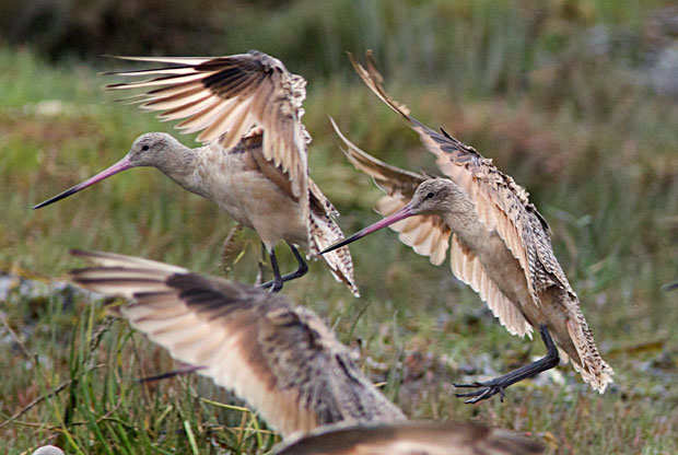 Two Godwits Landing