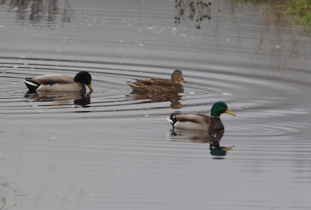 Mallards in the fog