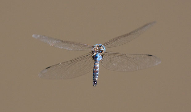 Dragonfly Mid-Air