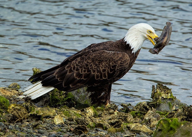 Eagle with sculpin