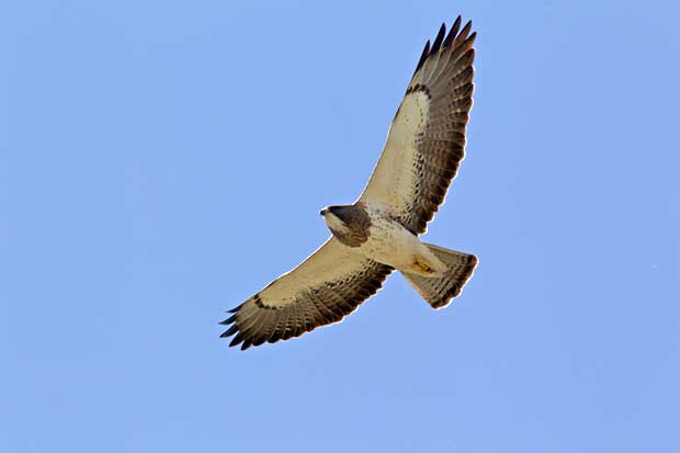 Swainson Hawk in flight