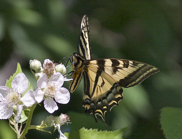 Tiger Swallowtail on Blackberry blossom