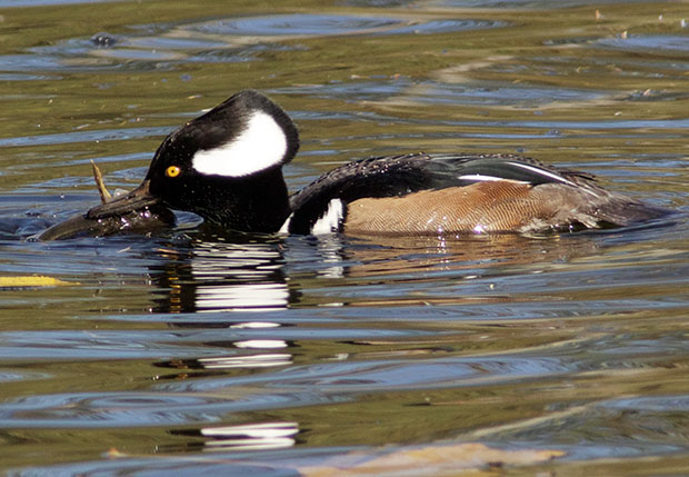 Hooded Merganser with fish