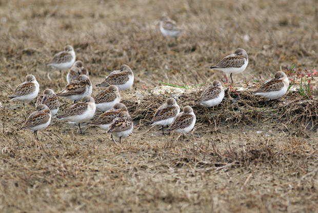 sandpipers resting