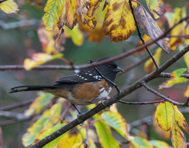 Towhee In Leaves