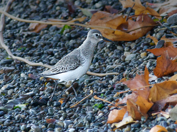 Unidentified Sandpiper-like Bird