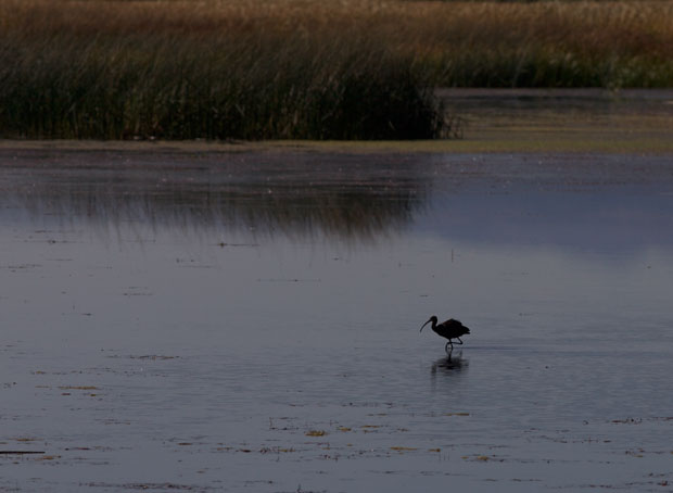 White-Faced Ibis in the Distance