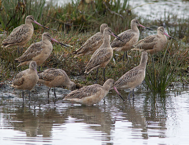 Marbled Godwits on Shoreline