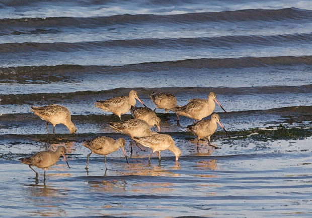 Godwits with Waves