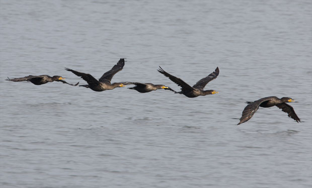 Flock of Cormorants Flying Low Over the Water