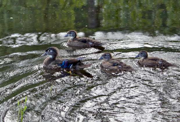 Wood Duck with Ducklings