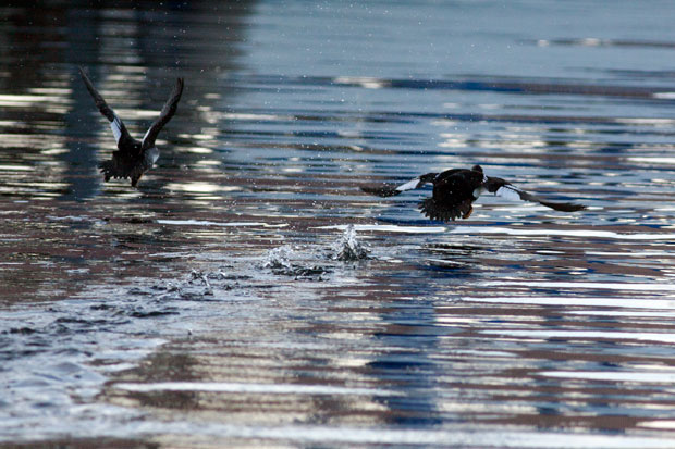 Pair of Goldeneyes Taking Off