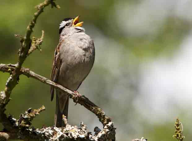 White Crowned Sparrow Singing