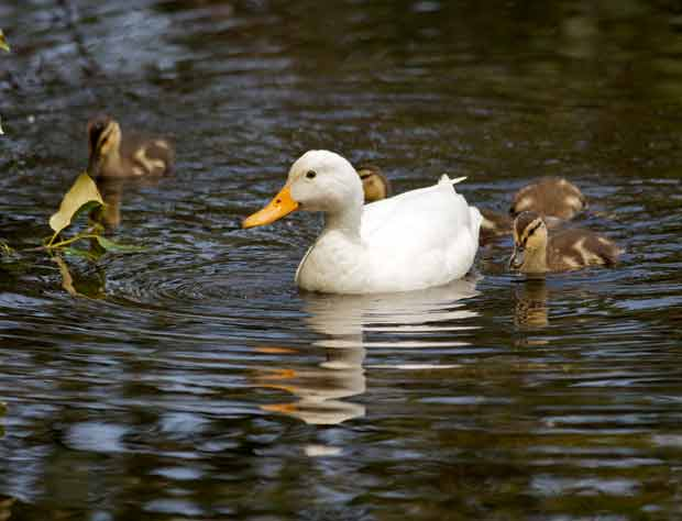 White Mallard? which ducklings